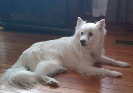 american eskimo dog a z it u0027s with a heavy heart that we say u0027see you later u0027 to our dog