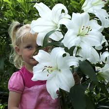 casablanca lilies top 15 most expensive flowers of the world blossom