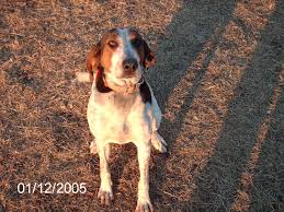 bluetick coonhound classifieds coondawgs com coonhound classifieds and message forum
