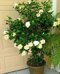 Fragrant Plants For Pots - sweet fragrance u0026 heart loving flowers gardenia is the king of