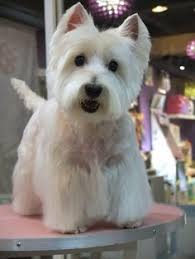 images of westie hair cuts proper trimming varies according to the breed most short haired