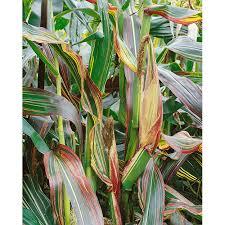 japonica striped maize ornamental corn seeds ne seed