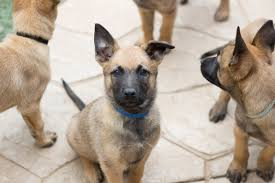 belgian sheepdog breeders ohio litter of 9 belgian malinois puppies for sale in imperial beach