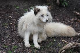 arctic fox stock 03 by malleni stock on deviantart
