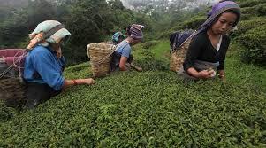 Seeking Tea Darjeeling Tea Association Appoints Ca Firm To Assess Crop Loss