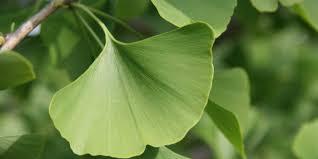 maidenhair tree ginkgo biloba plant facts eden project