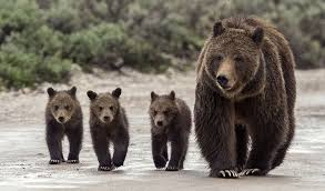 Hungry Bears Perishing On Western Montana Highways Local - grizzly experts meet in missoula this week local missoulian com