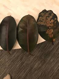 rubber tree dying brown spots and shriveling browning leaves