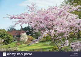 prunus accolade flowering cherry tree at rhs wisley gardens