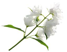 white flower white flower png clipart image gallery yopriceville high