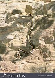 western ribbon picture of western ribbon snake