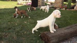 boxer dog price boxer puppies for sale youtube