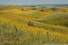 grassland native plants sunflowers the prairie ecologist