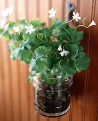 shamrock oxalis plant for home decorating