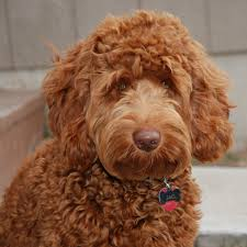 upcoming litters blessed day labradoodles u0026 goldendoodles