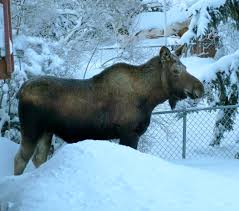 amazing moose facts ak on the go
