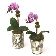 orchid plants mini orchid plants perfection in small floral gifts