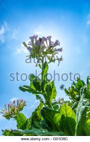 pink flowers of the tobacco plant shine in the late afternoon sun