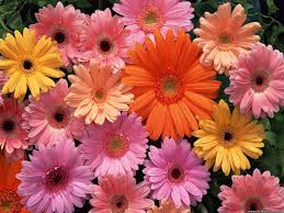 gerbera daisies gerbera daisies wallpaper 1600x1200 42476