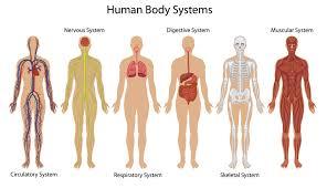 Human Anatomy Integumentary System Integumentary System Body Diagram Human Anatomy Chart