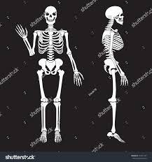 Anatomy Of Human Body Bones Human Bones Skeleton Silhouette Vector Anatomy Stock Vector