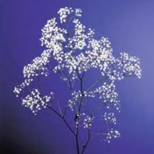 Baby S Breath Flower Baby U0027s Breath Pictures Of Flowers