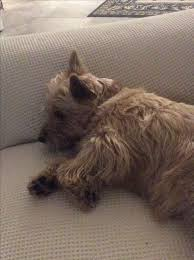 brindle cairn haircut 262 best cairn terriers images on pinterest best friends dogs