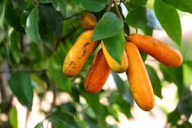 List Of Tropical Plants Names - bush tucker tasteofthetopend tropical fruits pinterest gardens