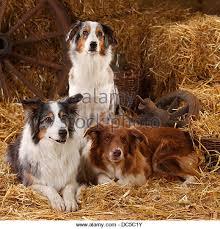 australian shepherd and border collie border collie dog australian shepherd stock photos u0026 border collie