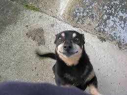 is my dog a lancashire heeler lancashire heeler community
