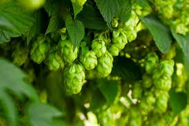 zone 8 hops plants best hops varieties for zone 8 landscapes