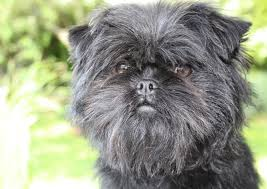 affenpinscher skin problems 10 ugliest dog breeds of the world whysoviral
