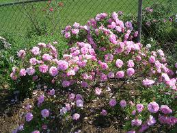 how to grow shrub roses gardening shrub roses growing shrub roses