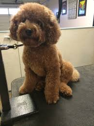 pictures of poodle haircuts is toy poodle hairstyles still relevant toy poodle hairstyles