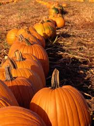 pumpkins planting growing and harvesting pumpkin plants the