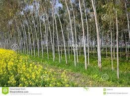 eucalyptus trees and mustard crop stock image image 29609191