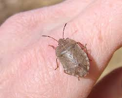 Bed Bugs Smell Meal Moths Infestation Getting Rid Of Fleas In Your Yard