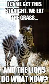 Now What Meme - and the lions do what now funny zebra meme