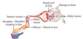 Motor Reflex Arc Biology Champ Reflex Action