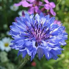 cornflower blue blue seeds