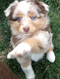 miniature australian shepherd 6 weeks my new mini aussie puppy peaches i pick her up this week my new