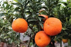 G Stige K Henm El Online Bestellen Chinotto Pflanze Kaufen Chinotto Online Bestellen Im Lubera Shop