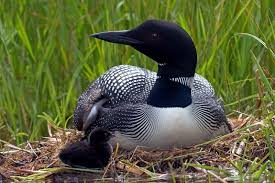 maine to help massachusetts with loon population restoration