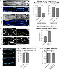 sparc promotes cell invasion in vivo by decreasing type iv