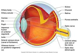 Anatomy Of The Heart Lab Smith Lab Vascular Eye Diseases Research Innovation Boston