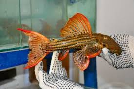 h k ornamental fish marine fish and discus exporter