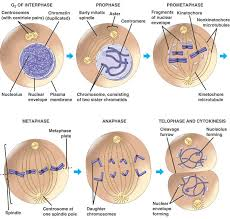 stages of the cell cycle mitosis metaphase anaphase and
