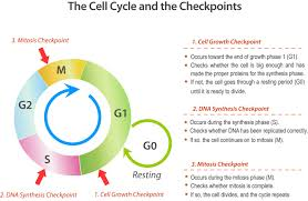 Mitosis And The Cell Cycle Worksheet Cell Division And The Cell Cycle Ck 12 Foundation