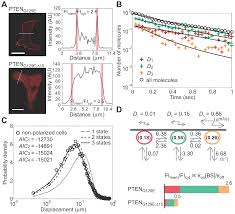 asymmetric pten distribution regulated by spatial heterogeneity in