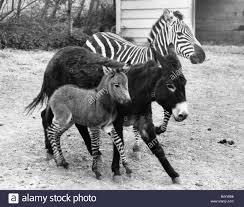 zebra colchester zoo stock photos u0026 zebra colchester zoo stock